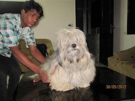 lhasa apso puppies price lhasa apso puppies for sale deepak 1 13362 dogs for sale price of puppies