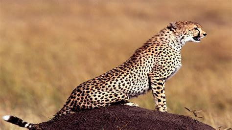wallpaper for walls animal cheetah animals 372475 walldevil