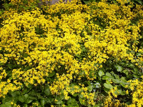 Yellow Flower Garden Yellow Flowering Plants Images