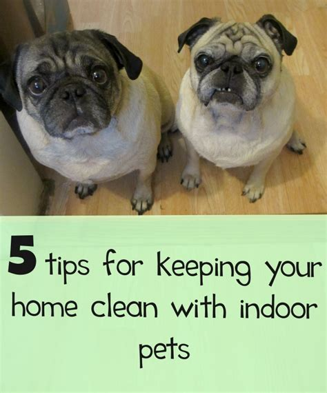 pug shedding more than usual 5 ways for families with pets to keep their homes clean neatobestpetvacuum emily