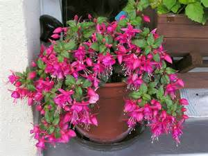 Flower Plants by Fuchsia Won T Flower How To Get Fuchsia To Blossom