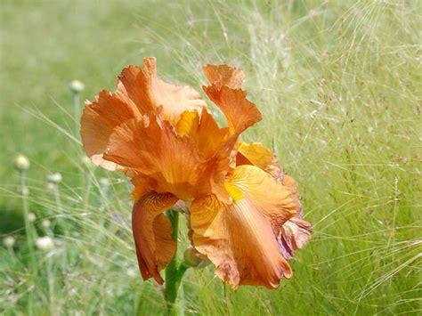 giaggiolo fiore iris giaggiolo iris x germanica giardinaggio mobi