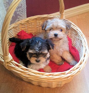 morkie puppies for sale in alabama puppies for sale morkie yorktese morkies yorktese f category in elkmont