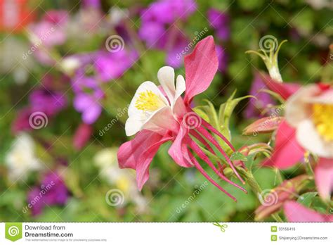 columbine flowers royalty free stock image image 33156416