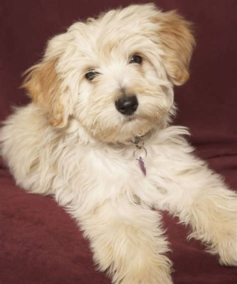 Cutest Non Shedding Breeds by The 25 Best Family Friendly Dogs Ideas On