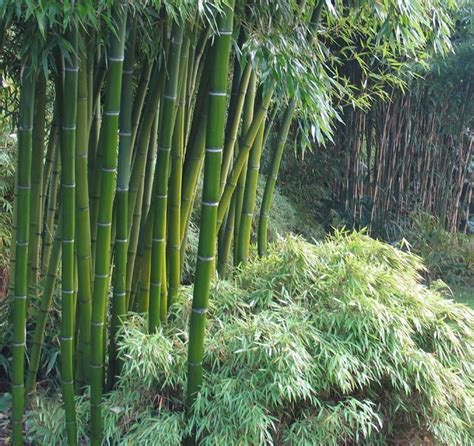 Bambus Winter by Moso Bamboo Phyllostachys Pubescens Is A Winter Hardy