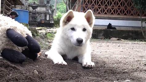 Anjing Kintamani Bali anjing kintamani bali aksi lucu puppy