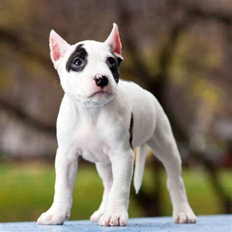 strong names for pitbulls unique pit bull names for one of a bullies