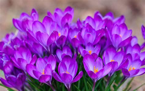 fiori crocus crocuses beautiful purple flowers hd wallpapers for laptop