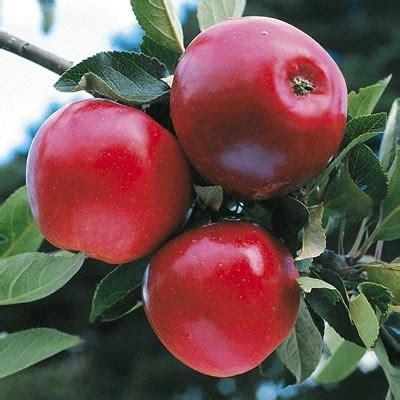 minarette fruit trees minarette 174 apple early katy