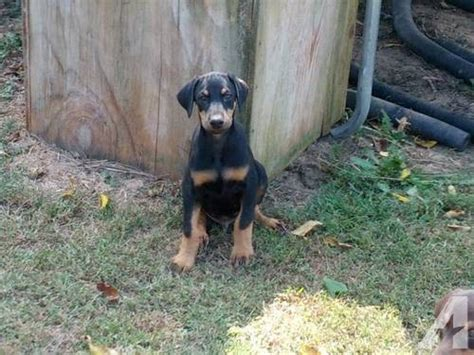 doberman puppies for sale va doberman puppies for sale in elkton virginia classified americanlisted