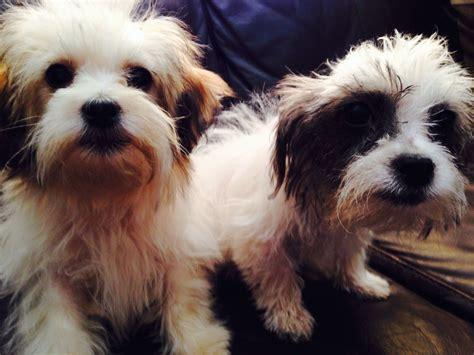 pictures of maltese shih tzu dogs shih tzu and maltese designer small place maltese x shih tzu designer dogs