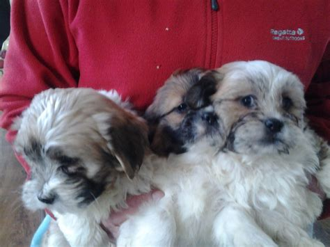 lhasa apso and yorkie mix yorkie lhasa apso puppies for sale images