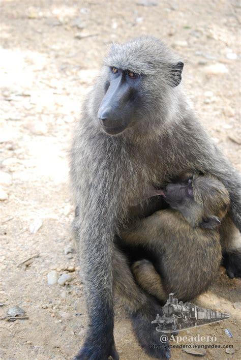 imagenes animales herbívoros babuino mamando viajes por libre apeadero