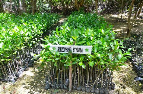 Bibit Mangrove aziil anwar penanam mangrove di batu karang mongabay co id