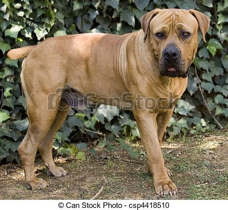 stock photography of boerboel dog full body shot of