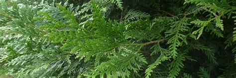 thuya occidentalis medicina integrativa thuja occidentalis orto botanico di ome