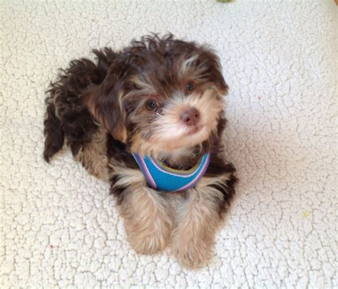 raising a yorkie poo yorkie poo day puppies