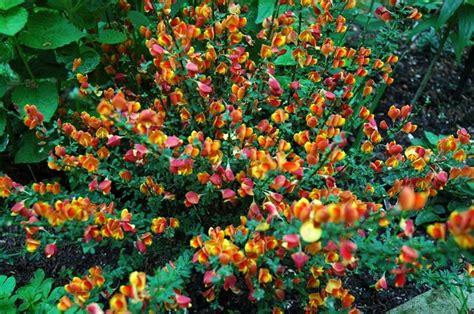porta della ginestra fiori ginestra fiori di piante i fiori della ginestra