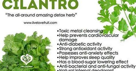 Essential Oils For Heavy Metal Detox by The Amazing Benefits Of Cilantro How To Use Essential