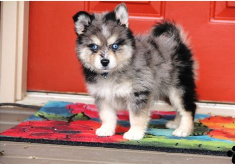 pomsky puppies for sale in pomskies for sale auto design tech