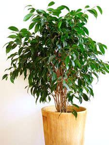 Ordinaire Plante D Interieur Sans Lumiere #3: Ficus-benjamina.jpg