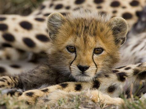 imagenes asombrosas de animales salvajes fotos de animales felinos salvajes