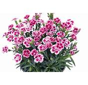 Growing Tips For Selectas Dianthus Pink Kisses
