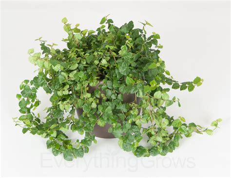 houseplant vine interior landscaping by everything grows