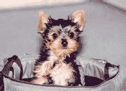 yorkie breeders in ny shooter s listing of yorkie breeders in the eastern united states
