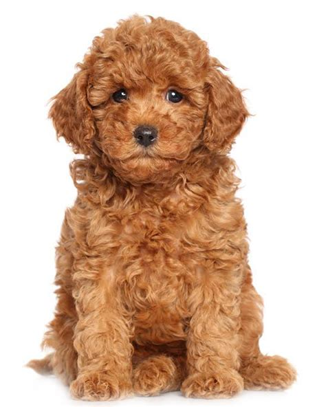 miniature poodle lifespan miniature poodle puppies breed information puppies for sale