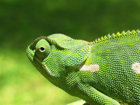 The Chameleon by Chameleon