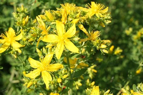 Planters Wort by About St John S Wort Info For Getting Rid Of St John S