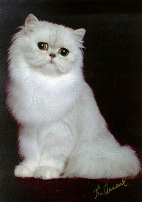Cat Sepasang ruslee cats kucing untuk dijual