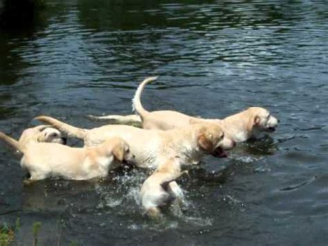 puppies swimming yellow labrador puppies swimming