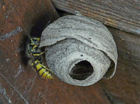 Wasp Nest In Shed by Garden Critters Wasp Nest