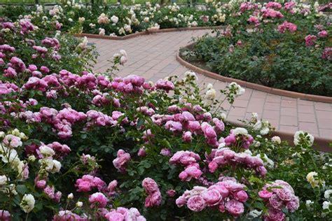 ways  incorporate roses   backyard