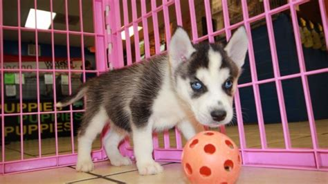 husky puppies for sale in ga precious black white siberian husky puppies for sale near atlanta ga at puppies