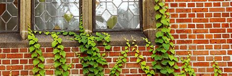 exles of climbing plant 10 questions on climbing plants and your property