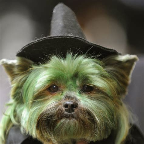 yorkie costumes yorkie costumes dogs breeds picture