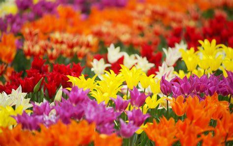 alle verschillende bloemen bloemen verschillende soorten en kleuren tulpen lente