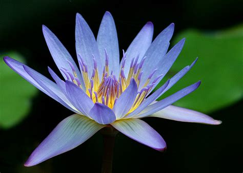 inkspired musings the language of flowers water lily