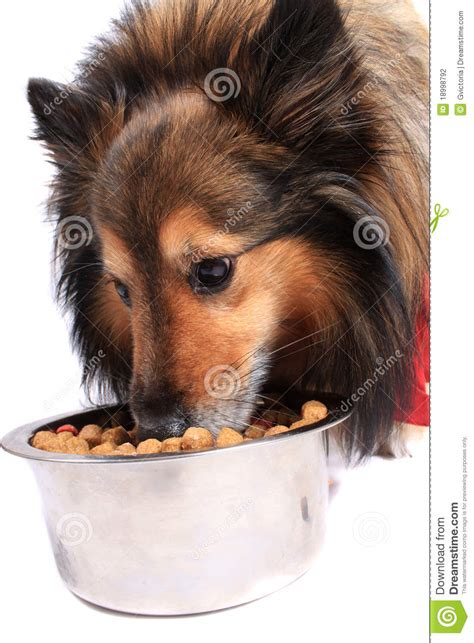 dog eating food from chrome bowl stock photo getty images dog eating food from a bowl stock photo image of eating