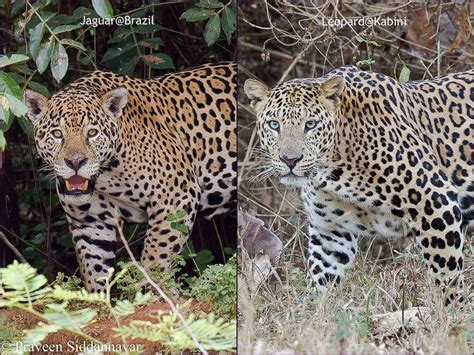 leopard vs cheetah vs jaguar vs panther
