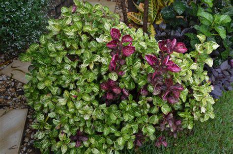 garden foliage plants iresine herbstii