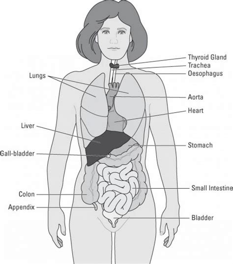 diagram of human organs in the inside of the diagram anatomy list