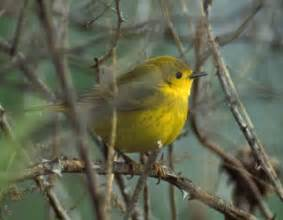 yellow warbler mdc discover nature