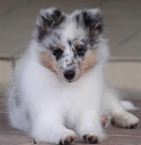 sheepdog puppies for adoption shetland sheepdog puppies for sale adoption from kuala lumpur adpost classifieds