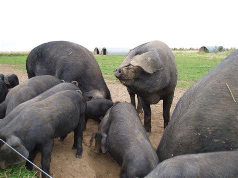 large black file large black pigs essex jpg wikimedia commons