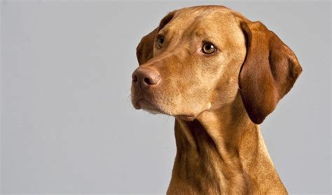 what s the best food what s the best food for vizslas that s high quality and is nutritionally balanced